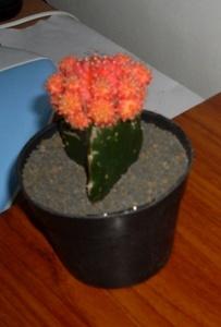 kaktusq yang masih sehat